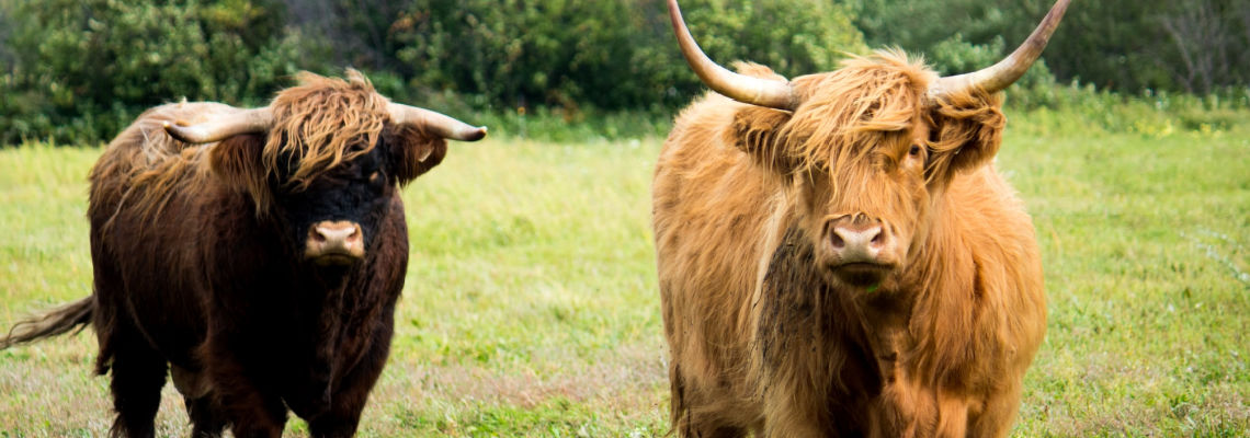 Two Oxen in a field