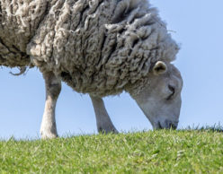 White sheep grazing in green grass.