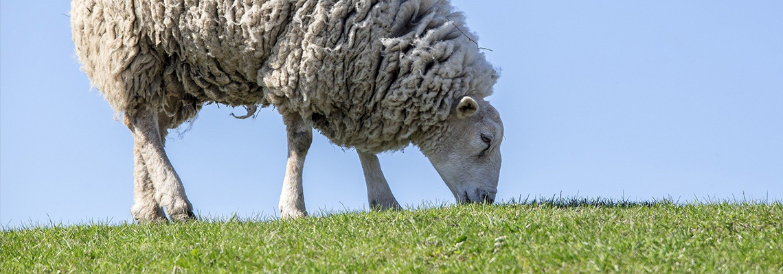 White sheep grazing in green grass.