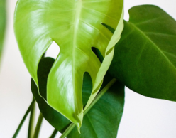 Large green leaves of houseplant