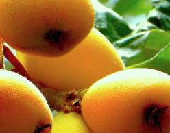Loquat fruit on the tree